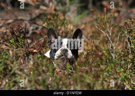 Dog French Bulldog / Bouledogue Français adult lying on the forest - Stock Photo