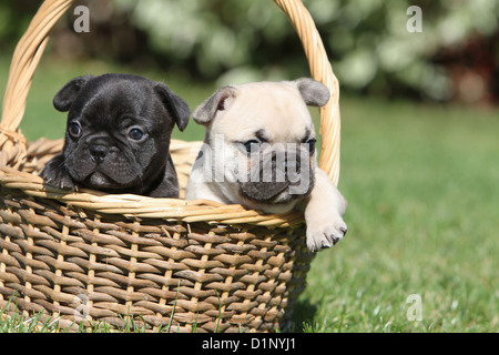 Dog French Bulldog / Bouledogue Français two puppies different colors - Stock Photo