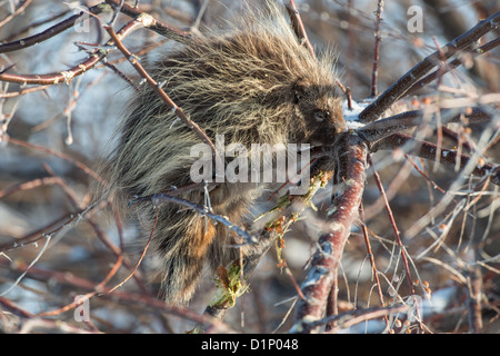 Stock photo of a north american porcupine feeding in a russian olive tree. - Stock Photo