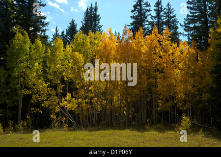 Aspen trees and Lodgepole Pines in fall, Kaibab National Forest, Grand Canyon National Park, Arizona, USA - Stock Photo