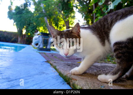 Florida Key West Florida Keys Whitehead Street The Ernest Hemingway Home & and Museum cat in-ground swimming pool - Stock Photo