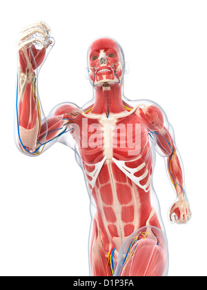 Male musculature, artwork - Stock Photo