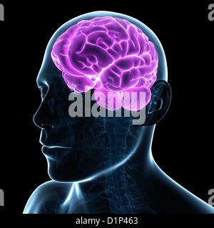 Male brain, artwork - Stock Photo