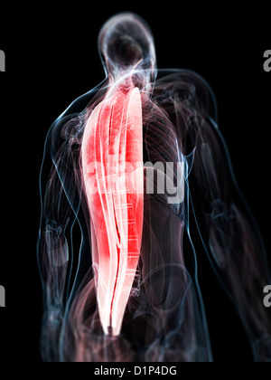 Back muscles, artwork - Stock Photo