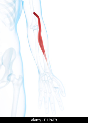 Arm muscle, artwork - Stock Photo
