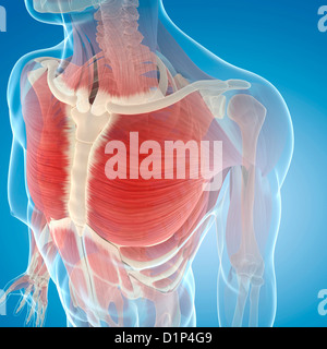 Chest muscles, artwork - Stock Photo