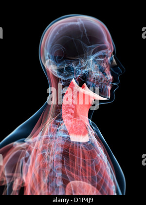 Neck muscles, artwork - Stock Photo