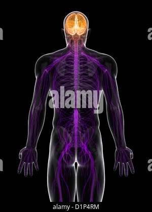 Central nervous system, artwork - Stock Photo
