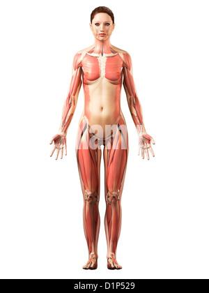 Female musculature, artwork - Stock Photo