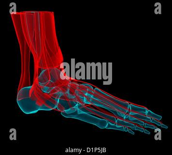 Foot anatomy, artwork - Stock Photo