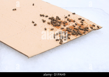 Pile of dead Western honey bees (Apis mellifera) on mite counting board. - Stock Photo