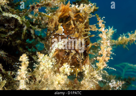 A Sargassum Frogfish hides on drifting seaweed in open ocean - Stock Photo