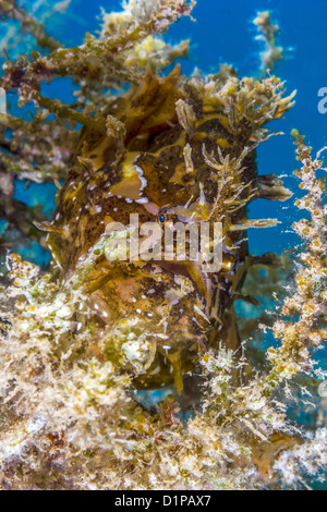 A Sargassum Frogfish lies in wait on a drifting piece of sea weed. - Stock Photo