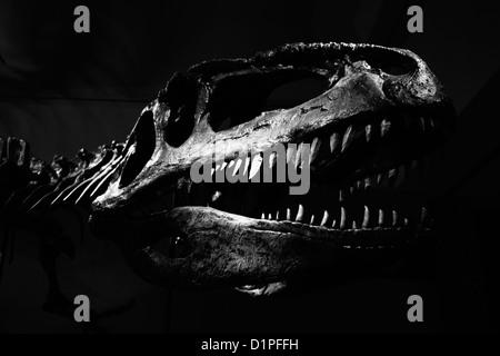 Tyrannosaurus Rex skull against black background - Stock Photo
