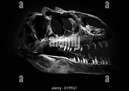 Skull of Tyrannosaurus Rex against a black background - Stock Photo