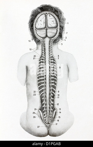 Position of the spinal cord in the spinal column. Antique illustration, 1936. - Stock Photo