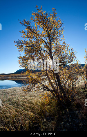 Birch trees on a frosty autumn morning at Fokstumyra nature reserve, Dovre, Norway. - Stock Photo