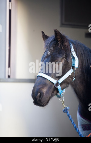 Horse Looking out of a horse box door on the streets of London Equus ferus caballus - Stock Photo
