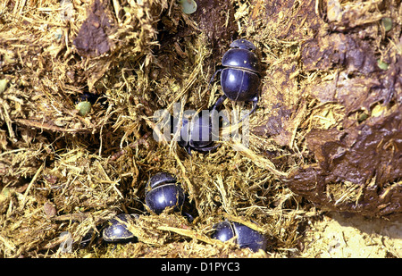 DUNG BEETLES [SCARABAEOIDEA] BURROWING IN ELEPHANT DUNG ADDO ELEPHANT PARK SOUTH AFRICA - Stock Photo