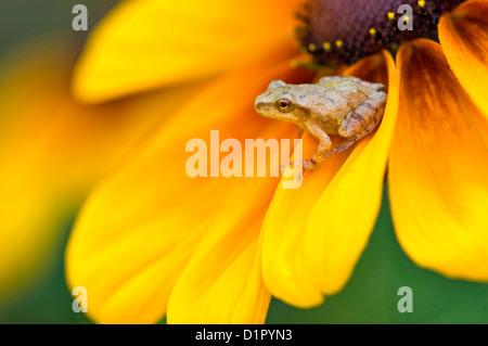 Spring peeper (Hyla crucifer) perched on black-eyed susan in flower garden Ontario, Canada - Stock Photo