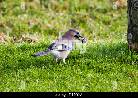 Eurasian Jay (Garrulus glandarius) burying a tame castagne in the ground as food stock for winter. - Stock Photo