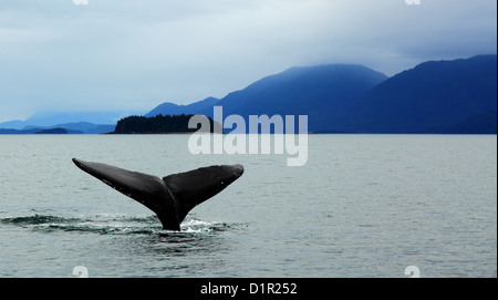 humpback whale diving in alaska with tail showing against mountains - Stock Photo
