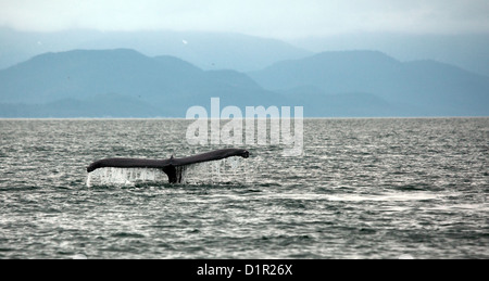 humpback whale diving in Auke  Bay, Alaska with tail showing - Stock Photo