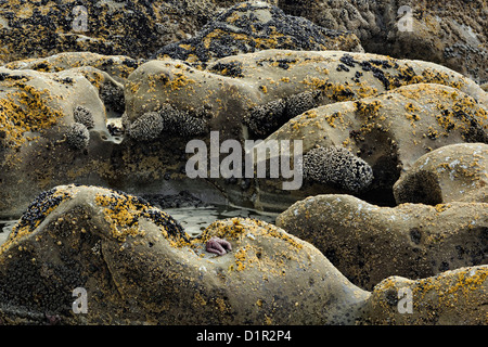 Barnacle colonies on Beach #4 rocks at low tide, Olympic National Park, Washington, USA - Stock Photo