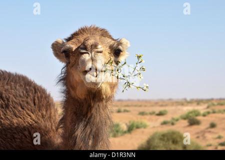 Morocco, M'Hamid, Erg Chigaga. Sahara desert. Camel eating flowering bush.