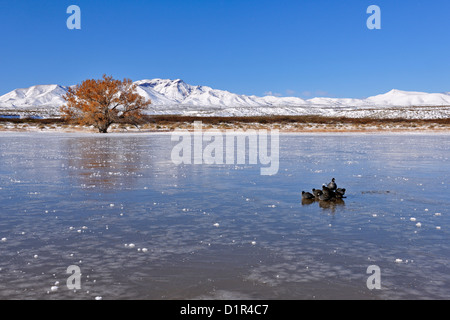 American coot (Fulica Americana) Small flock loafing on frozen pond, Bosque del Apache National Wildlife Refuge, - Stock Photo