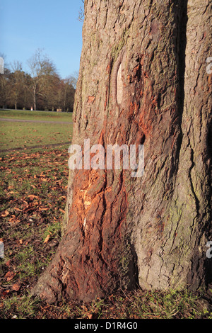 Damage to a horse chestnut tree done by the antlers of deer in Bushy Park, near Kingston, UK. - Stock Photo