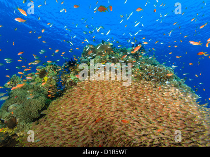 A large school of glassfish and anthias on a coral reef - Stock Photo
