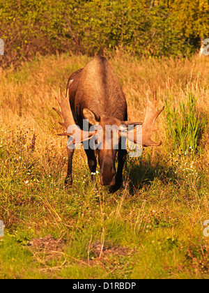 Danger, the young Bull Moose has lowered its head and is looking straight at the photographer ready to charge the - Stock Photo