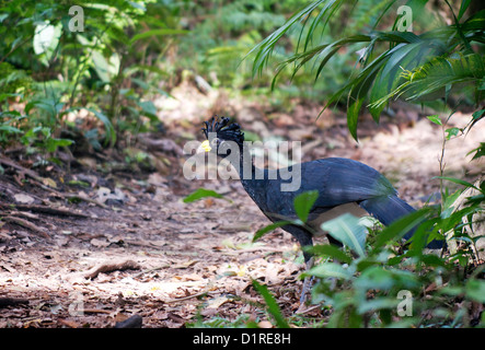 Wild black male Great Curassow (Crax rubra) walking on the forest floor at Arenal Volcano National Park, Alajuela, - Stock Photo