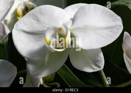 White Moth Orchid, Phalaenopsis Hybrid, Orchidaceae. - Stock Photo