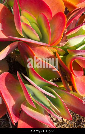 Red & Green Kalanchoe Succulent Cactus - Stock Photo