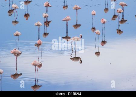 Flamingo in Arusha National Park. Safari in Tanzania Africa - Stock Photo
