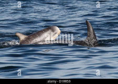 Risso's Dolphins Grampus griseus Mother and calf Mousa Sound RSPB reserve Shetland Islands Scotland UK - Stock Photo