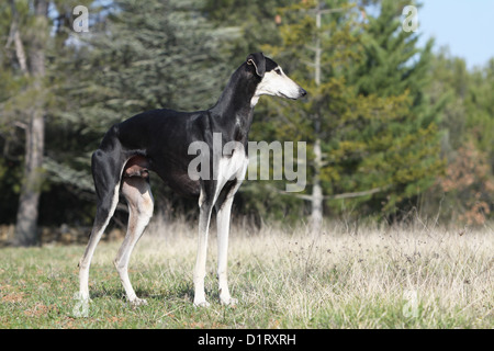 Dog Sloughi / Berber Greyhound adult standard profile - Stock Photo