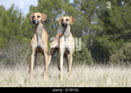 Dog Sloughi / Berber Greyhound two adults standing - Stock Photo
