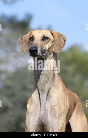 Dog Sloughi / Berber Greyhound adult portrait face - Stock Photo
