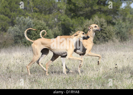 Dog Sloughi / Berber Greyhound two adults running - Stock Photo