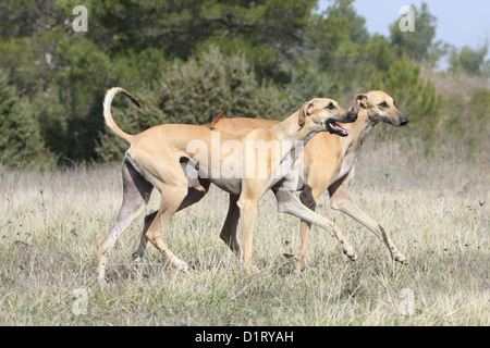 Dog Sloughi / Berber Greyhound two adults walking - Stock Photo