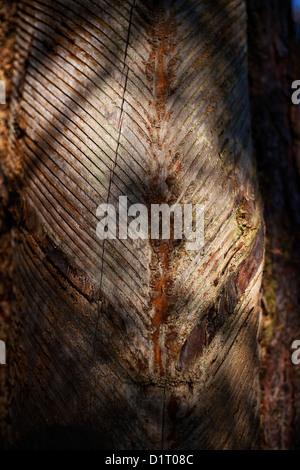 pine bark tapped for risin, Fichtenrinde eingeschnitten für Baumharzgewinnung - Stock Photo