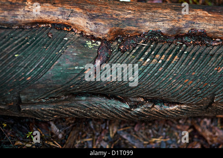 pine bark tapped for risin, Fichtenrinde eingeschnitten für Baumharzgewinnung - Stock Photo