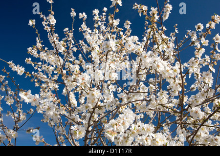 Alaró, Mallorca, Balearic Islands, Spain. Almond tree (Prunus dulcis) in bloom. - Stock Photo