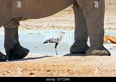 A large Bull Elephant at a waterhole in Etosha National Park, Namibia - Stock Photo