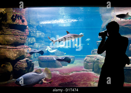 Berlin, Germany, a visitor photographed sharks and fish in the aquarium - Stock Photo