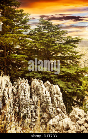Image of cedars forest of Lebanon, coniferous woods on the rocks, dramatic red sunset, big green pine trees in the - Stock Photo