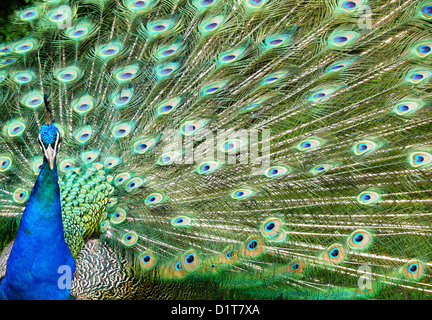 Peacock feather display - Stock Photo
